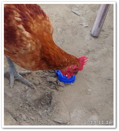 雞對玩具車也感興趣