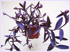 Tradescantia pallida 'Purpurea' or 'Purple Heart' (Purple Queen, Purple Secretia, Wandering Jew), Nov 13 2013