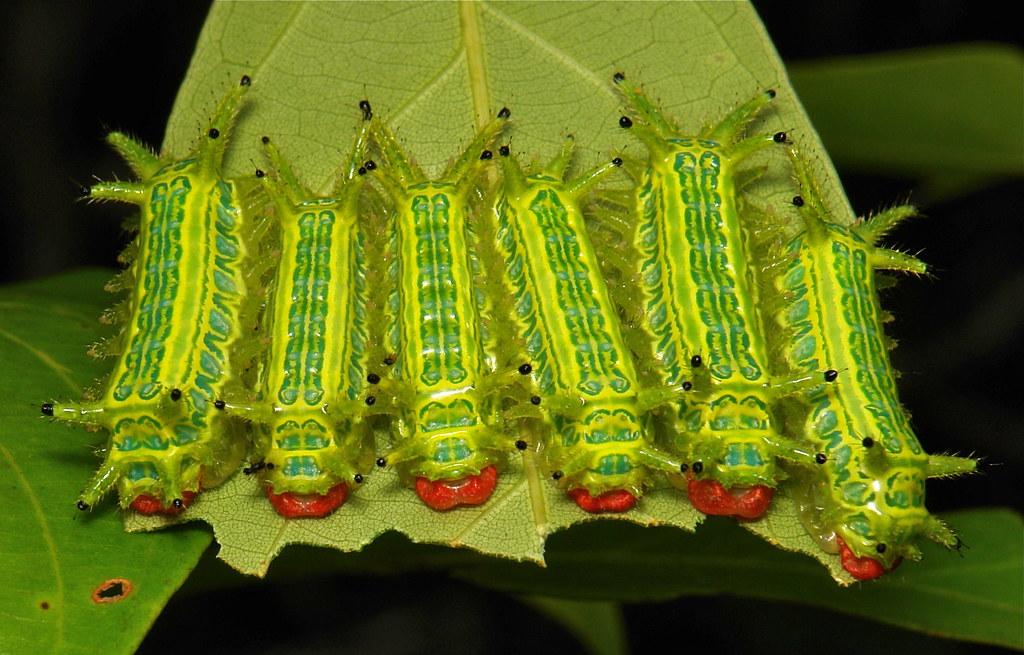 "Stinging Nettle Slug Caterpillars (Cup Moths, Limacodidae) ""Carrot Top"""