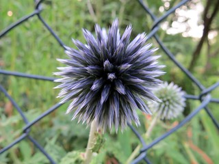 thistle on a fence