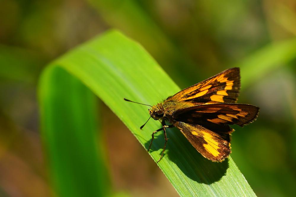 橙斑弄蝶屬竹橙斑弄蝶03
