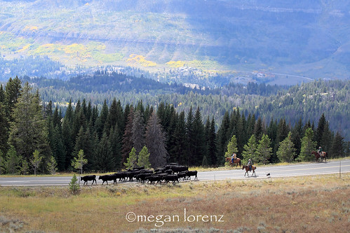 Cattle Drive by Megan Lorenz