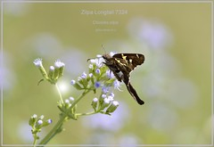 Zilpa Longtail Texas Butterfly photography by Ron Birrell, DSC_7324