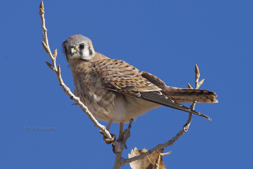 American Kestrel (female), Bosque del Apache NWR, New Mexico by Janaswamy