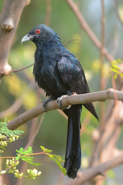 The victorious Male Koel