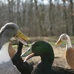 Quack; quack