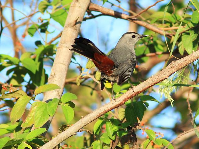 Gray Catbird 20140102