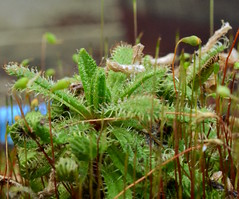vascular plant(0.0), flower(0.0), ferns and horsetails(0.0), non-vascular land plant(0.0), moss(0.0), carnivorous plant(1.0), leaf(1.0), flora(1.0), fauna(1.0),