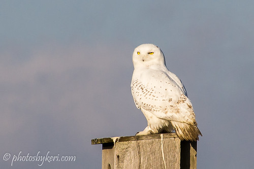 The Snowy Owl by KAM918