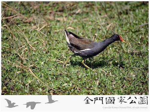 紅冠水雞-05