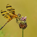 Halloween Pennant Dragonfly, female by asparks306