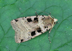 2128 Double Square-spot - Xestia triangulum