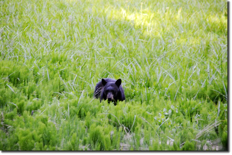 Black Bear un Round Meadow 1