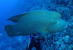 曲紋唇魚。(圖片來源:林務局提供)