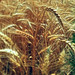 Small photo of Triticum aestivum