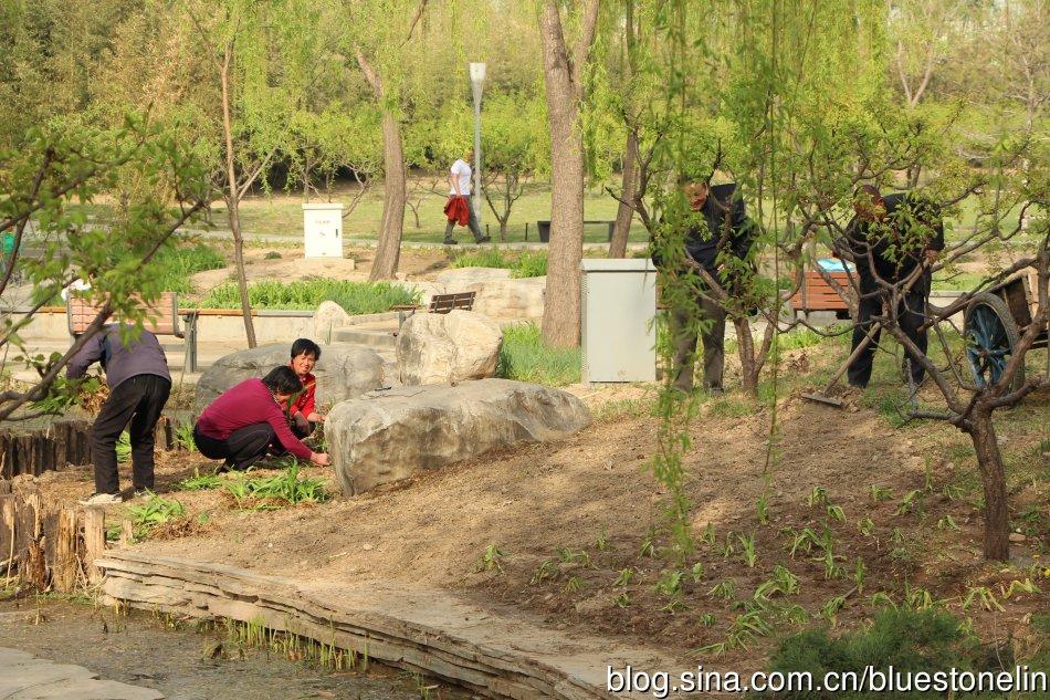北京市動員拔除野草的工程。(圖片來源:林吉洋)