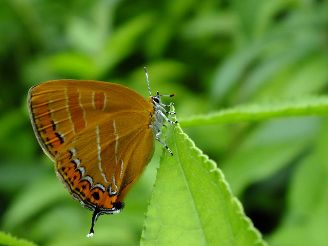 橙,黒,白の翅模様が美しいアカシジミ.