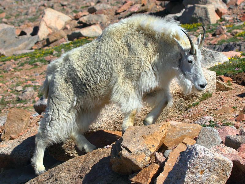 IMG_4557 Mountain Goat