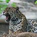 Jaguar yawning