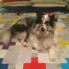 #shelties belong right in the middle of the bed says Stirling