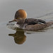 Hooded Merganser - Female