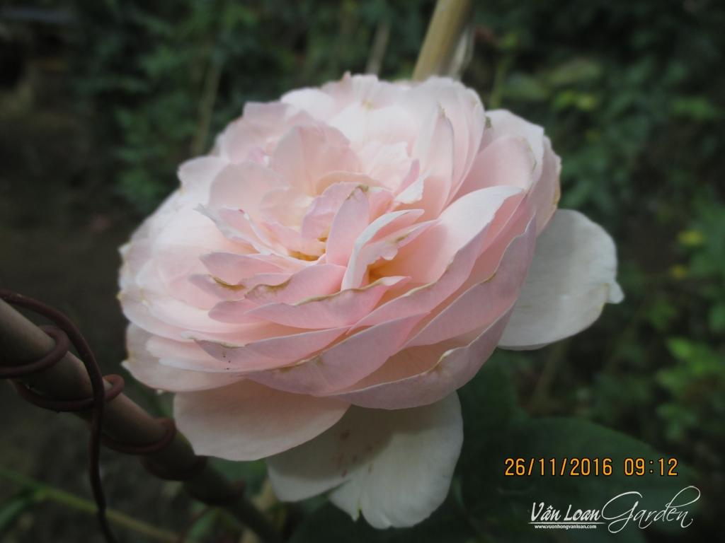 gentle hermione rose (2)-vuonhongvanloan.com