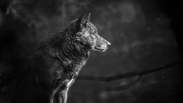 grey wolf, Canon EOS 6D, Sigma 150-600mm f/5-6.3 DG OS HSM   C