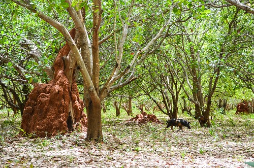 Cashews and termite hills of Guinea-Bissau