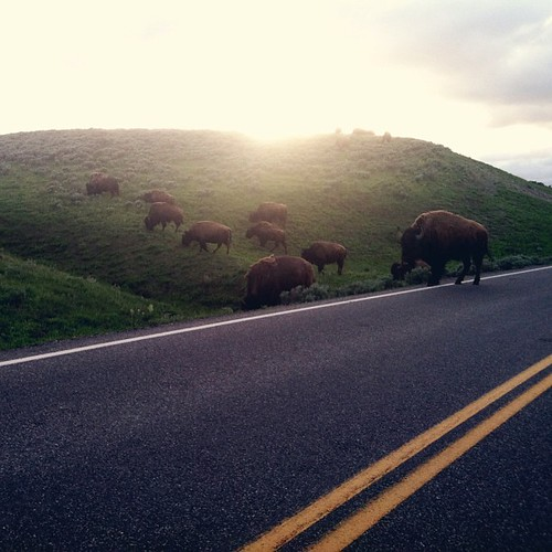 Bison sighting. One of many tonight. #yellowstone #haydenvalley