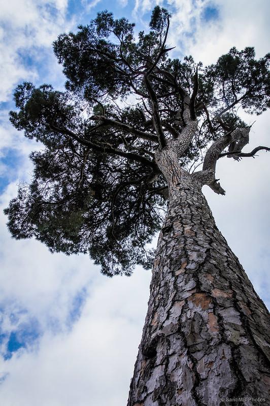 La copa de un pino
