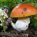 Small photo of AMANITA CAESAREA (Scop.) Pers.