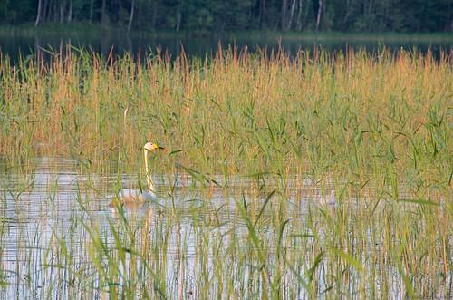 summer lake suomi finland lago verano fin finlandia savonlinna saimaa whooperswan cygnuscygnus laulujoutsen kesä cisnecantor järvi