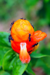 Ants on a flower in the Amazon