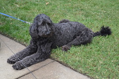 toy poodle(0.0), standard poodle(0.0), poodle crossbreed(0.0), irish water spaniel(0.0), bouvier des flandres(0.0), kerry blue terrier(0.0), cã£o da serra de aires(0.0), puli(0.0), cockapoo(0.0), miniature poodle(1.0), dog breed(1.0), animal(1.0), dog(1.0), schnoodle(1.0), pumi(1.0), pet(1.0), lagotto romagnolo(1.0), black russian terrier(1.0), poodle(1.0), portuguese water dog(1.0), spanish water dog(1.0), barbet(1.0), carnivoran(1.0),