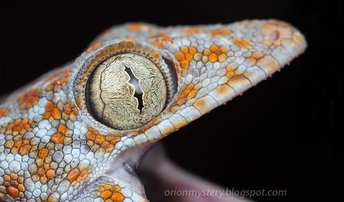 IMG_9843 merged copy Tokay Gecko (Gekko gecko)