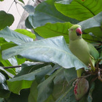 A juvenile rose ringed parakeet visits the same Indian Almond tree