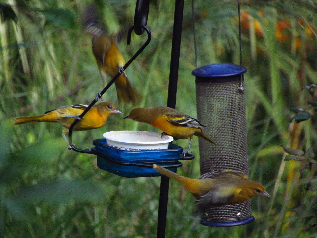 Orioles at feeder4 8:23:13