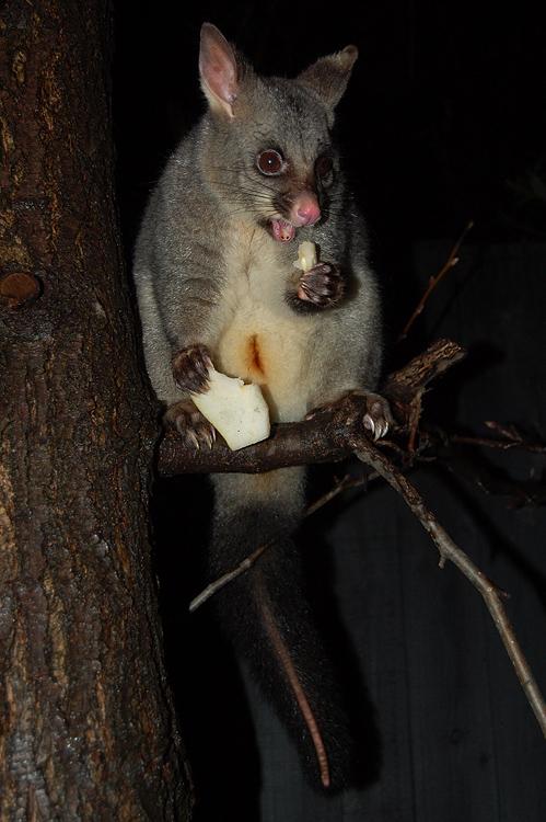 possums_5