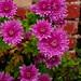 Crizanteme by festila