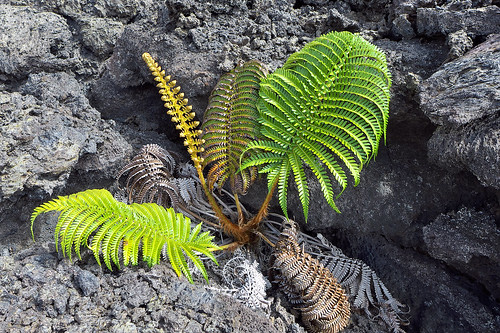 P1020497 – Fern Growing in Lava by Ed Suominen