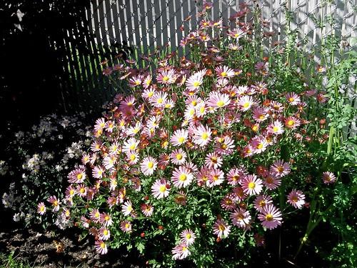 ** Les chrysanthèmes d'automne **