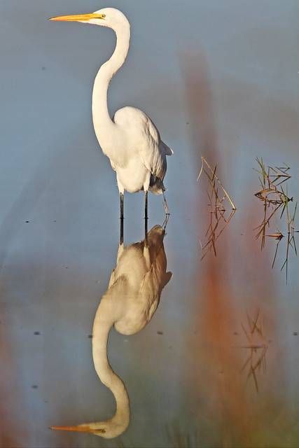 Great Egret reflection 4-20131118