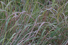 blady grass