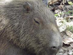 peccary(0.0), wombat(0.0), animal(1.0), rodent(1.0), fauna(1.0), capybara(1.0),