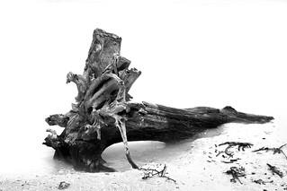 Tree trunk driftwood