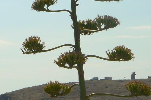 fruits d'agave, fin juillet