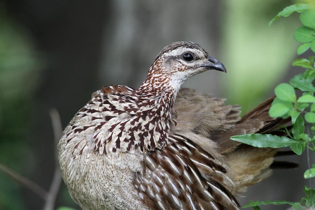 Dendroperdix sephaena (Crested Francolin)