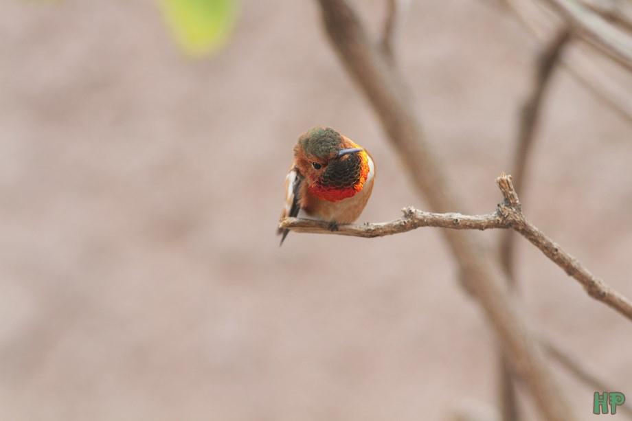 Allen's Hummingbird 020314-3