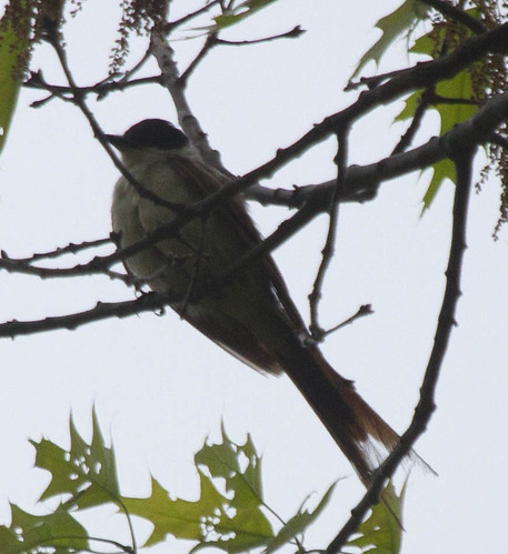 Fork-tailed