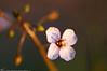 Lavender flower زهرة الخزامى